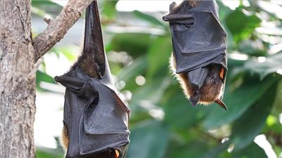 AI helps identify bat species suspected of carrying Nipah Virus